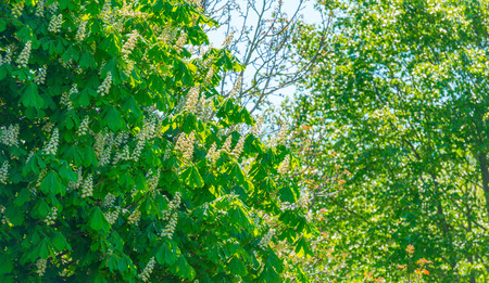 canopy: Canopy of a chestnut in sunlight in spring