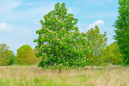 chestnut tree: Blossoming chestnut tree in a field in spring