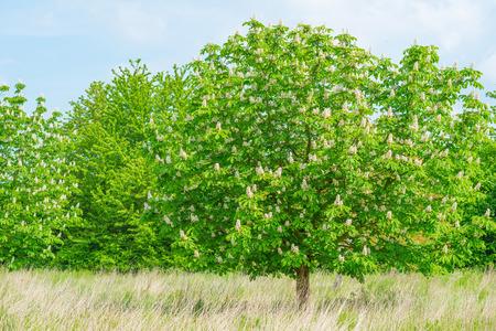chestnut tree: Blossoming chestnut tree in spring