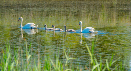 cygnet: Swan with cygnets swimming in a lake Stock Photo