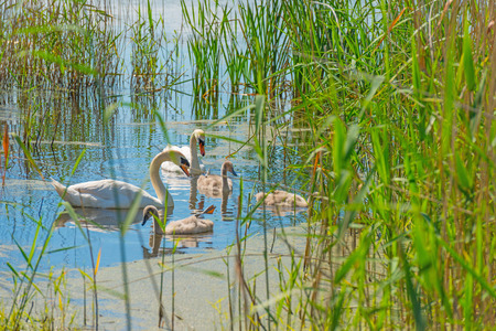 wildfowl: Swan with cygnets swimming in a lake Stock Photo