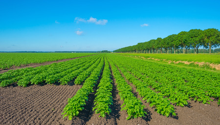 plowed: Plowed field with potatoes in summer