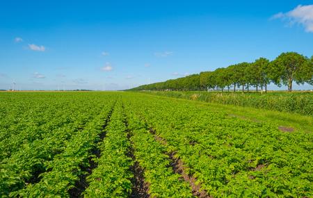 plowed field: Plowed field with potatoes in summer