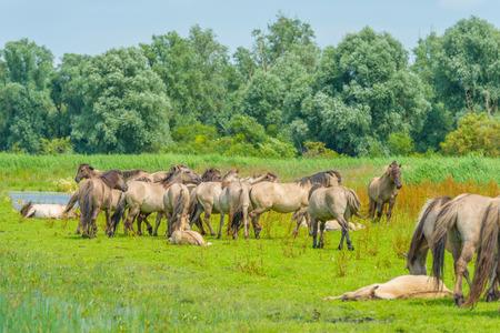 Konik horses in a sunny field in summer