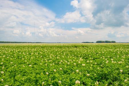 Field with potatoes in summer Фото со стока