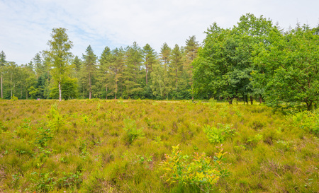 clearing: Clearing in a forest in summer