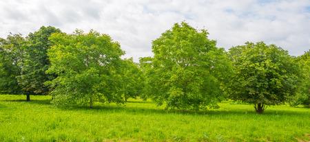 chestnut tree: Chestnut tree in sunlight in summer