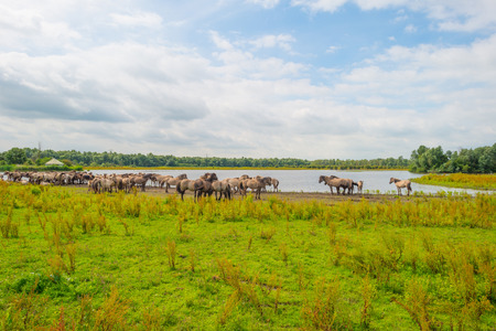 almere: Horses along the shore of a lake in summer