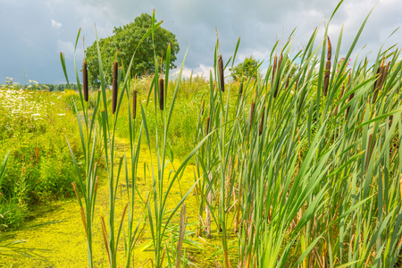 cattails: Wetland with cattails and flowers in summer