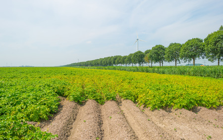 flevoland: Field with potatoes in summer Stock Photo