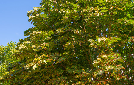 chestnut tree: Canopy of a chestnut tree in summer Stock Photo