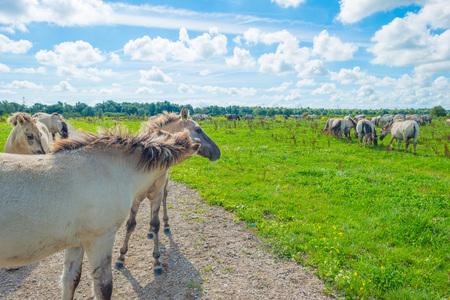 flevoland: Horses in wetland in summer