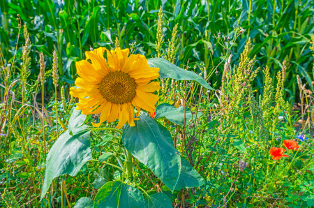flevoland: Wildflowers along a field with corn