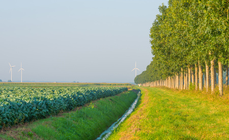 flevoland: Field with vegetables in summer Stock Photo
