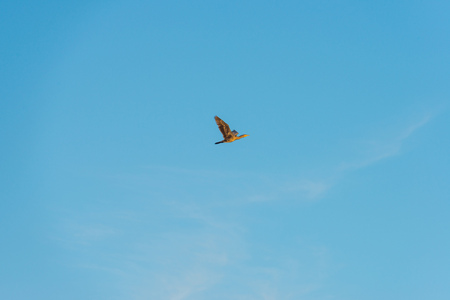 Bird flying in a blue sky at sunrise