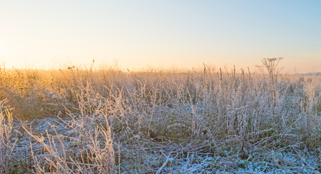 winter sunrise: Wildflowers with hoarfrost at sunrise in winter