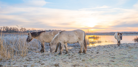 Horses along the shore of a frozen lake at sunrise in winter Stock Photo