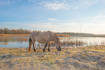 Horse along the shore of a frozen lake at sunrise in winter Stock Photo