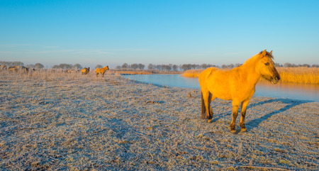 Horses along the shore of a frozen lake at sunrise Stock Photo