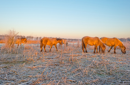 hoarfrost: Horses in frozen wetland at sunrise Stock Photo