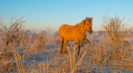 Horse in frozen wetland at sunrise