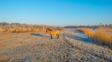 Horses along the shore of a frozen lake at sunrise Stock Photo