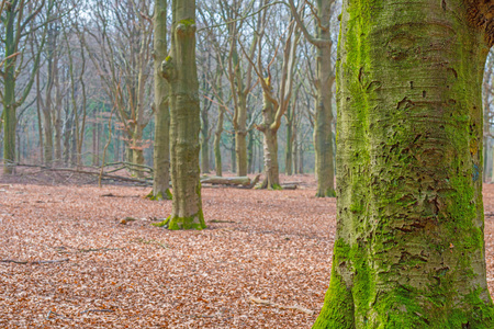 Beech forest in sunlight in spring Stock Photo