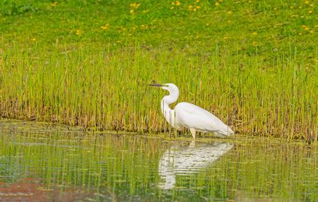 Witte reiger jagt vis in een rivier in het voorjaar