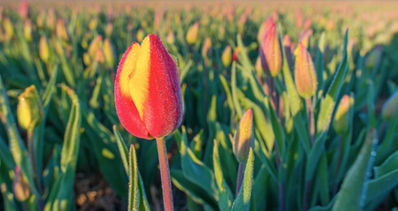 bulb fields: Field with tulips at sunrise in spring