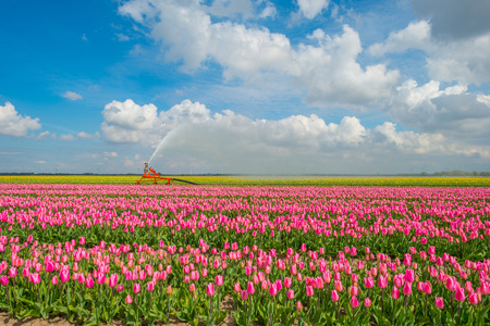 Irrigation, or a field with tulips in spring