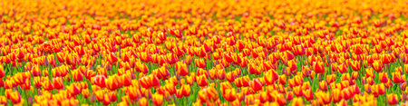 flevoland: Field with tulips in spring
