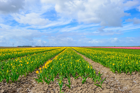 Field with tulips below a blue cloudy sky in spring