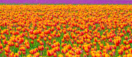 holland: Field with tulips in spring