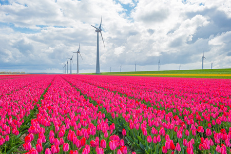 bulb fields: Field with tulips below a cloudy sky in spring Stock Photo