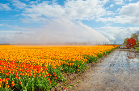 Field with tulips below a cloudy sky in spring Stock Photo