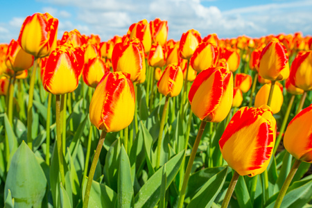 holland: Field with tulips below a cloudy sky in spring Stock Photo