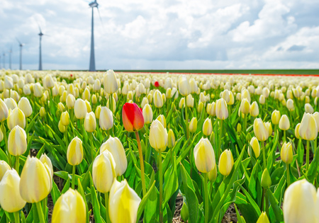 flevoland: Field with tulips below a cloudy sky in spring Stock Photo