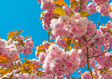 Canopies: Blossoming tree in a blue sky in spring