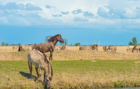 Horses in a meadow in wetland in spring
