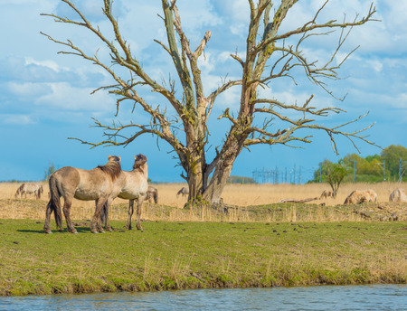 flevoland: Horses along the shore of a lake in spring