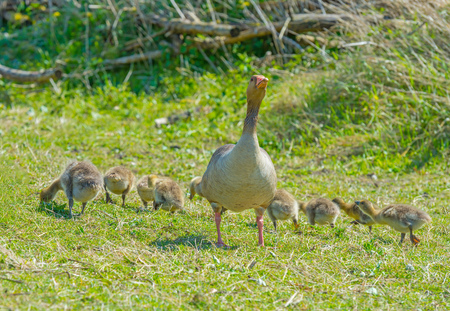 Goose and goslings in a field in wetland in spring