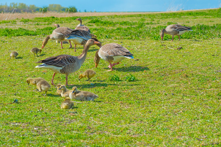 Geese and goslings in a field in wetland in spring Stock Photo