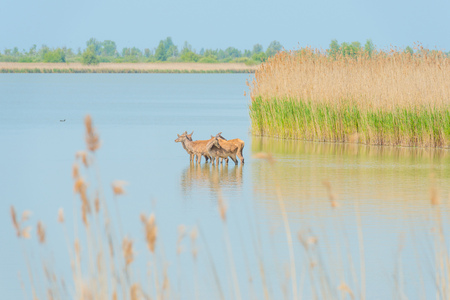 Deer walking in a lake in spring Stock Photo