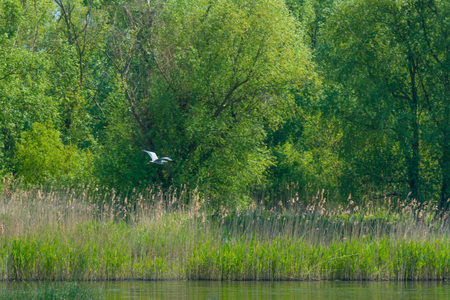 Egret flying above the shore of a lake in spring Stock Photo