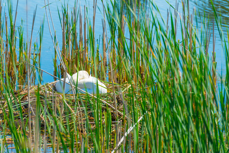Swan breeding on her nest in a lake in spring