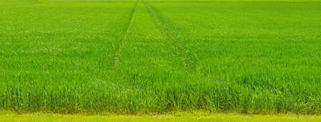 Green wheat field in spring Stock Photo