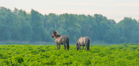 Feral horses in a meadow in wetland in spring
