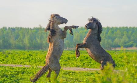春に湿地草原の野生馬