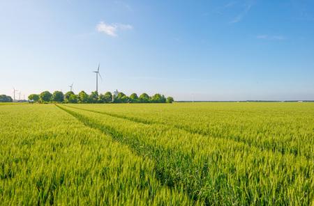 Wheat field in spring in sunlight