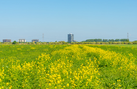 Highrise on the horizon of a flowering field Stock Photo